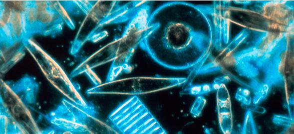 Especímenes de diatomeas (algas), ocultos en el hielo de la Antártica, descubiertos a través de un microscopio. (Wikipedia)